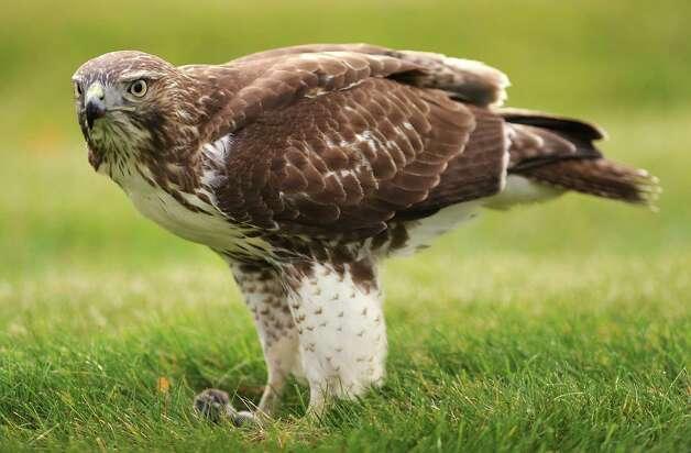 A hawk is seen standing over a dead mouse on a lawn on Thursday, Nov. 6, 2014 in Colonie, N.Y. (Lori Van Buren / Times Union) Photo: Lori Van Buren