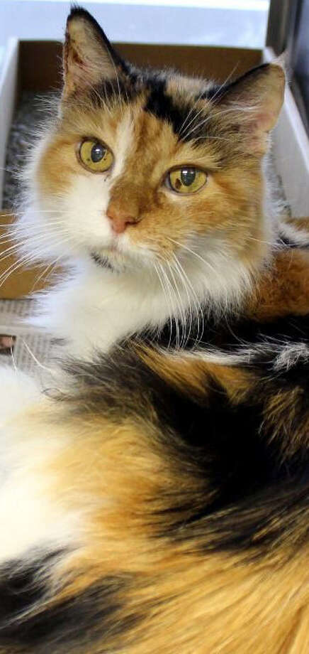 Blanche, a calico, is one of three older cats surrendered at Animal Care Services because of their age. ACS is looking for someone to adopt the three cats together. Photo: Courtesy Of Animal Care Services