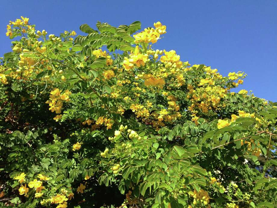 Yellow flowering cassia is a fall spectacle houston chronicle the yellow blooms of the cassia splendida or senna splendida offers incredible curb appeal mightylinksfo