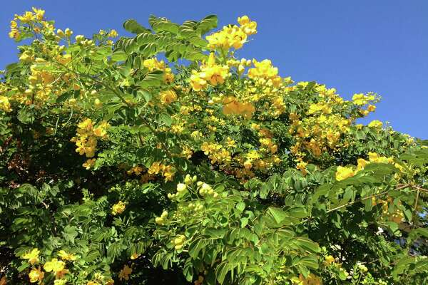 Yellow-flowering cassia is a fall spectacle