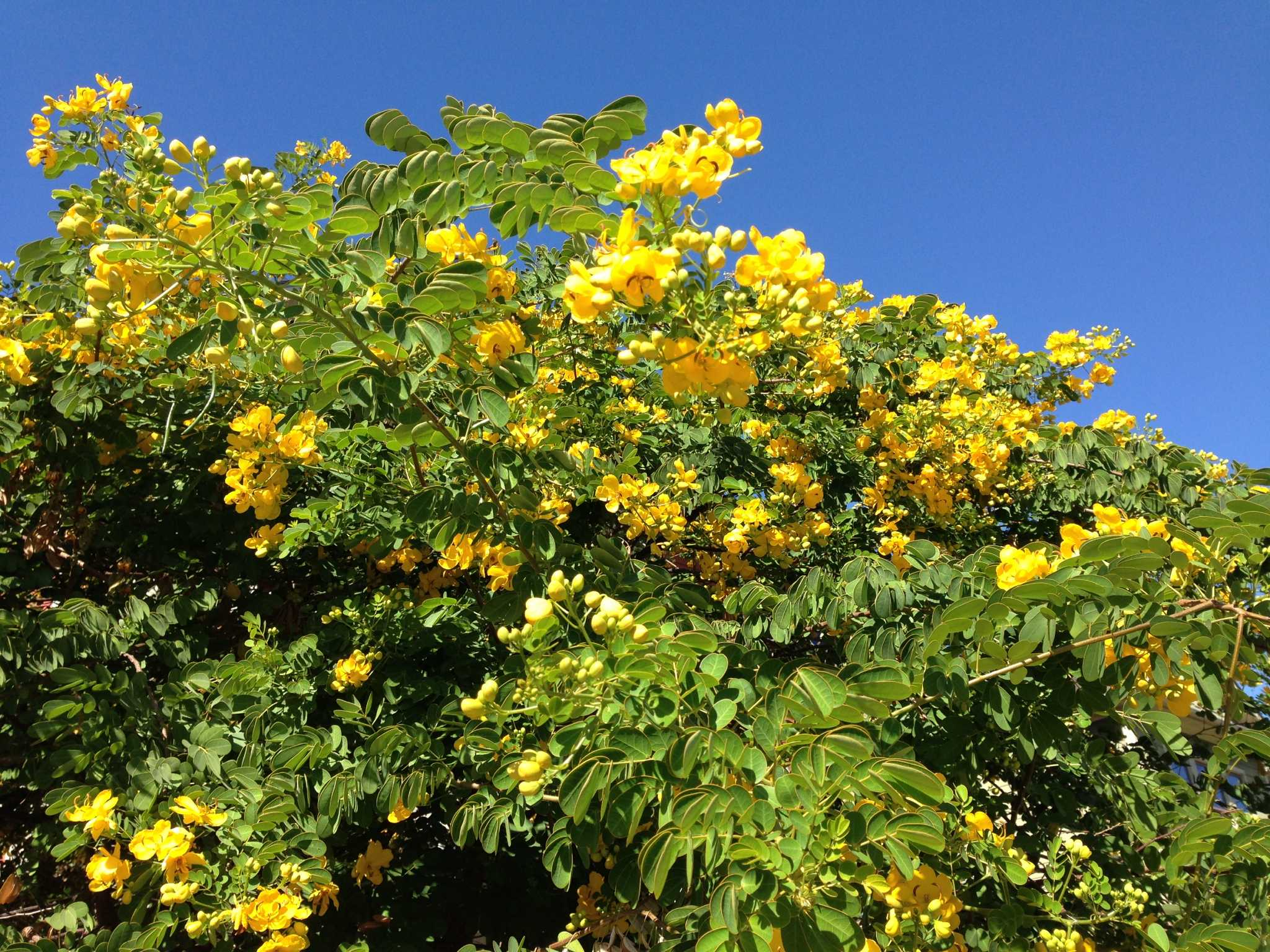 Yellow Flowering Cassia Is A Fall Spectacle Houston