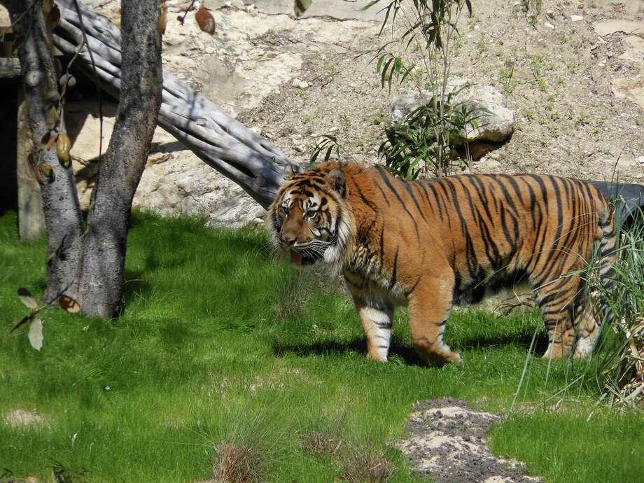 Raguno the tiger at the San Antonio Zoo. Photo: Courtesy San Antonio Zoo