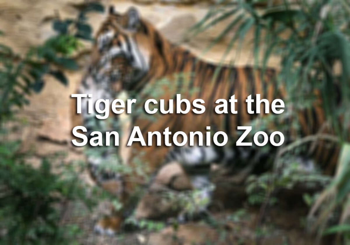 Two Sumatran tiger cubs were born at the San Antonio Zoo on Aug. 3, 2013.