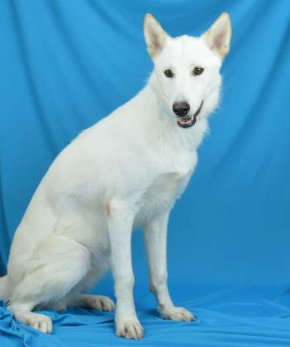 Paxel is a 2 year-old Siberian husky mix. He's a friendly boy that loves going for walks and stealing treats.   Now available for adoption from the Houston Humane Society