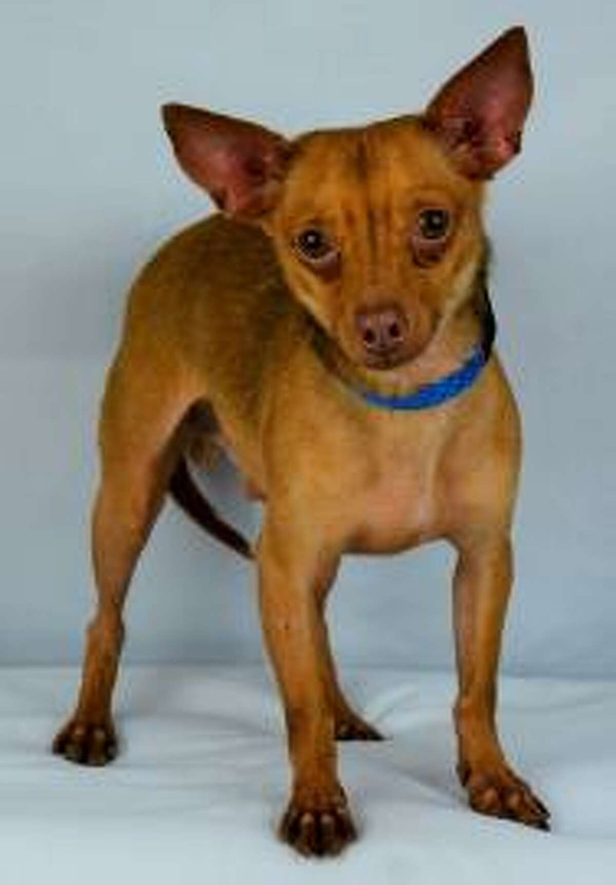 Martian is a calm, gentle pup. He is a joy to take for walks and loves a good cuddle. He's also a friendly little guy who gets along well with all people and other dogs. He has been at Houston Humane Society since April 1st.   Now available for adoption from the Houston Humane Society