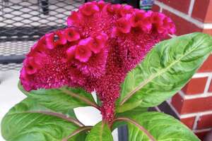 Gather seeds from celosia, or cockscomb, by shaking the bloom over an old white sheet. Plant them in early spring and see how well they will reproduce.