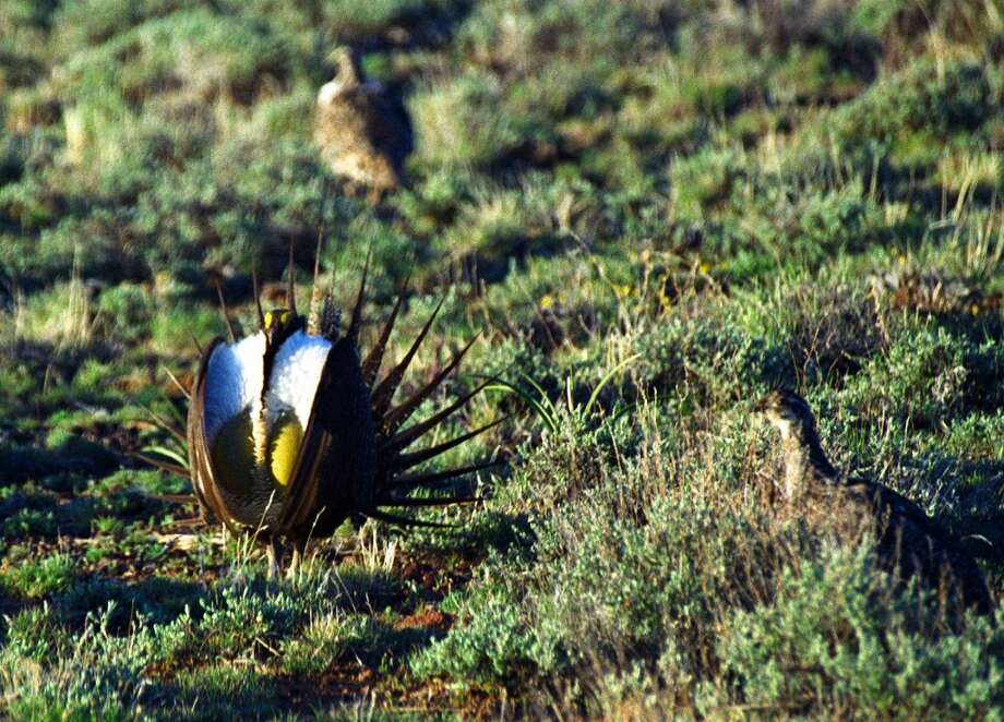 A male sage grouse, left, struts during mating season in northern Nevada. Beginning in late February and continuing through May, sage grouse begin congregating at traditional breeding grounds, called leks, for their annual mating rituals. (AP Photo/Nevada Division of Wildlife, Kim Toulouse, File) Photo: KIM TOULOUSE, AP