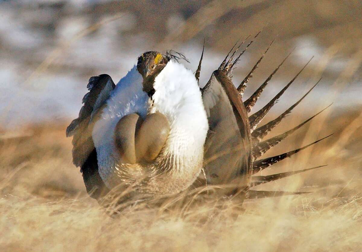 A male sage grouse performing his