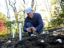 Barry Butler, Stamford's lead public defender, plants hundreds of cloves of garlic at his father's home in Trumbull, Conn., Saturday, Nov. 8, 2014. Butler is an avid organic garlic grower and supplies garlic seed stock to hundreds of friends and court workers.