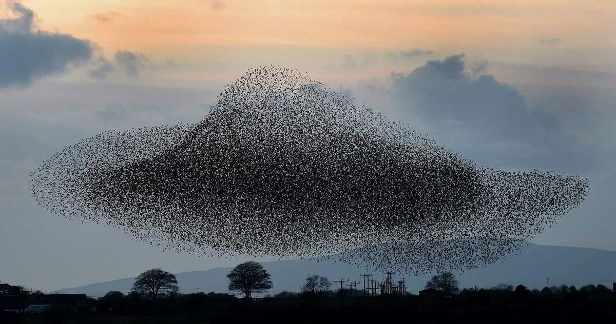 A murmuration of starlings put on a display near the town of Gretna, Scotland, Thursday Nov. 6, 2014. The starlings visit the area twice a year in the months of February and November. (AP Photo/PA, Owen Humphreys)