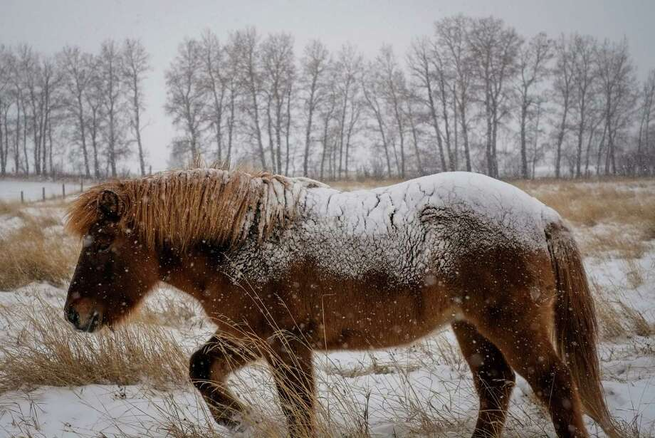A snow-covered horse near Cremona, Alberta doesn't let the first heavy snowfall of the season on Sunday stop it from grazing. Plunging temperatures are expected to hit the Upper Midwest section of the United States this week. Photo: Jeff McIntosh, SUB / The Canadian Press
