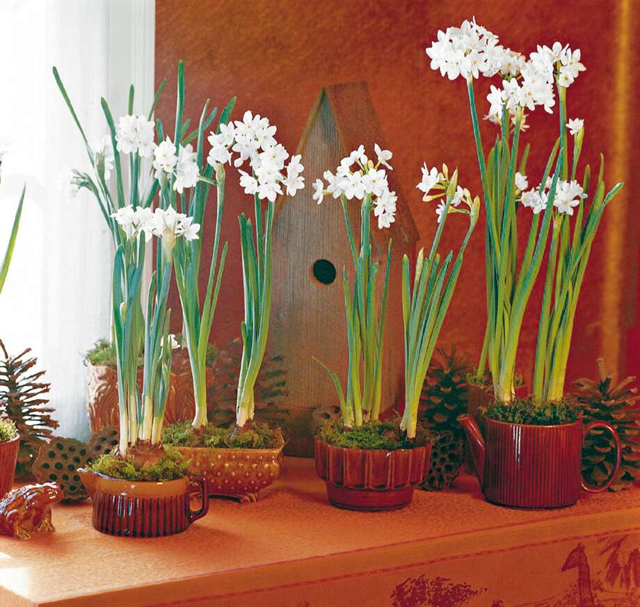 Begin potting 'Ziva' paperwhites now. With their 16- to 20-inch stems, they thrive on windowsills.  Photo: LACY KERR ROBINSON, MBR / SOUTHERN LIVING
