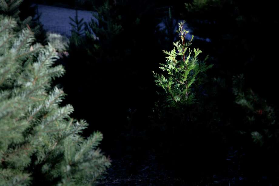 Christmas tree farms make Santa Cruz a winter destination, too ...