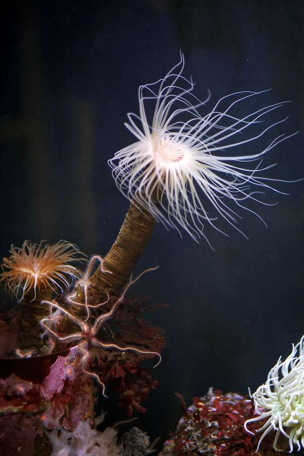 A tube anemone at Seymour Marine Discovery Center in Santa Cruz. Photo: Preston Gannaway, Special To The Chronicle