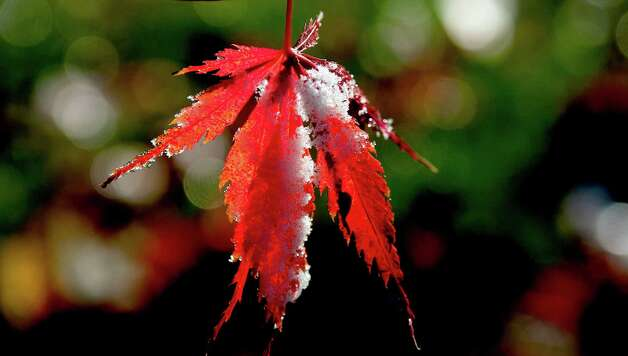 In a Monday, Nov. 10, 2014 photo, a light dusting of snow clings to a Japanese Maple leaf in Coeur d'Alene, Idaho. Temperatures are set to drop into the 20's for the rest of the week. (AP Photo/The Spokesman-Review, Kathy Plonka) ORG XMIT: WASPO101 Photo: Kathy Plonka / The Spokesman-Review