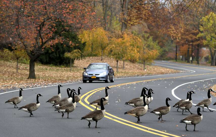 Goose crossing: A vehicle slows down as a gaggle of geese ...