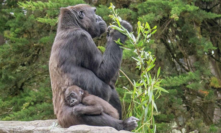 Kabibe at 15 months with her grandmother, Bawang. Kabibe was killed by a hydraulic door at the San Francisco Zoo. Photo: May Woon / Associated Press / San Francisco Zoo