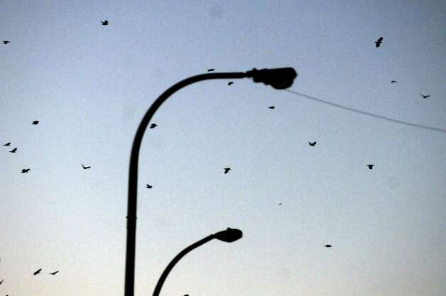 Crows fly above State Street as USDA biologist Bryan Haslun, right, and wildlife specialist Angela Kolewe disperse crows from the buildings around the Capitol on Wednesday Nov. 12, 2014 in Albany, N.Y. (Michael P. Farrell/Times Union) Photo: Michael P. Farrell / 00029400A