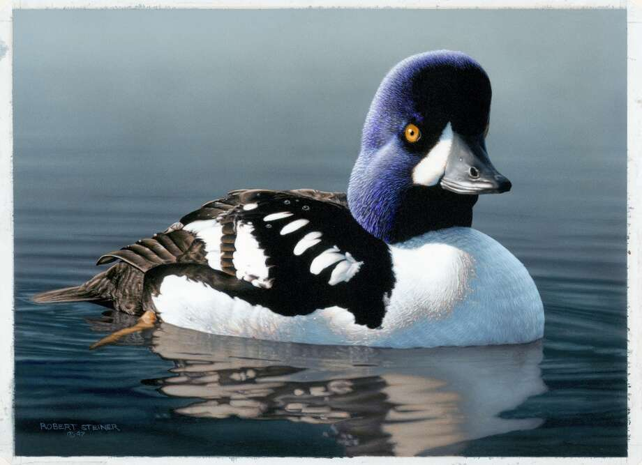 Barrows Golden Eye, selected as winner out of 314 entries from across America -- 1998 Federal Duck Stamp Photo: Robert  Steiner