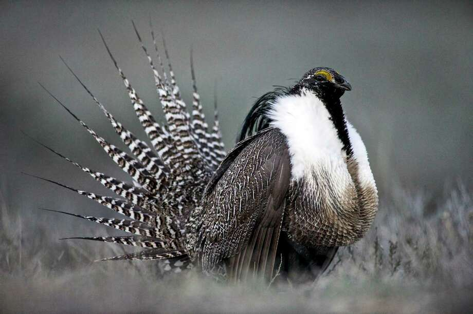 FILE - This April 2014 photo provided by Colorado Parks and Wildlife shows a Gunnison sage grouse with tail feathers fanned near Gunnison, Colo. Federal officials are preparing to announce whether the Gunnison sage grouse will be protected under the Endangered Species Act, which could restrict oil and gas development and other land use in Colorado and Utah.  (AP Photo/Colorado Parks and Wildlife, Dave Showalter, File( Photo: Dave Showalter, HOPD / Colorado Parks and Wildlife