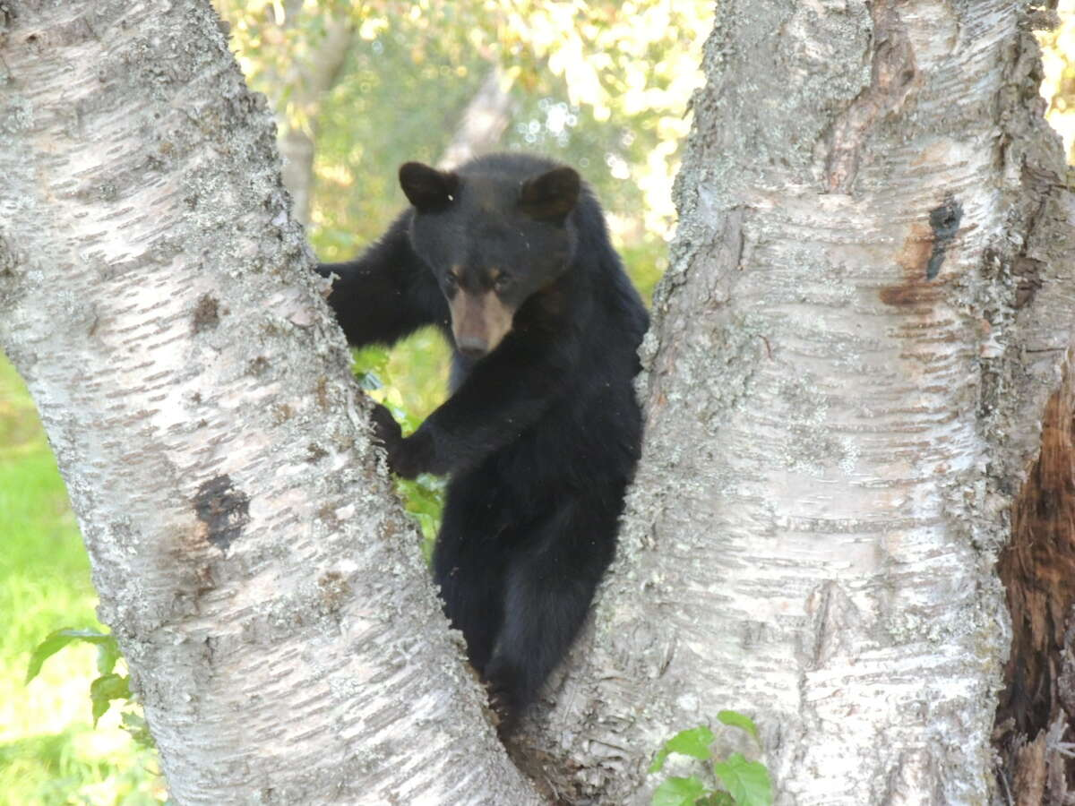 Roaming black bear defies capture An Arizona town is astir over a black bear that has eluded capture and pops up in the Phoenix suburb like a Bigfoot.Residents reported seeing the bear twice between 3:30 a.m. and 4:30 a.m. in east Mesa, Arizona Game and Fish spokeswoman Amy Burnett said.The agency is halting the search for now, she said.