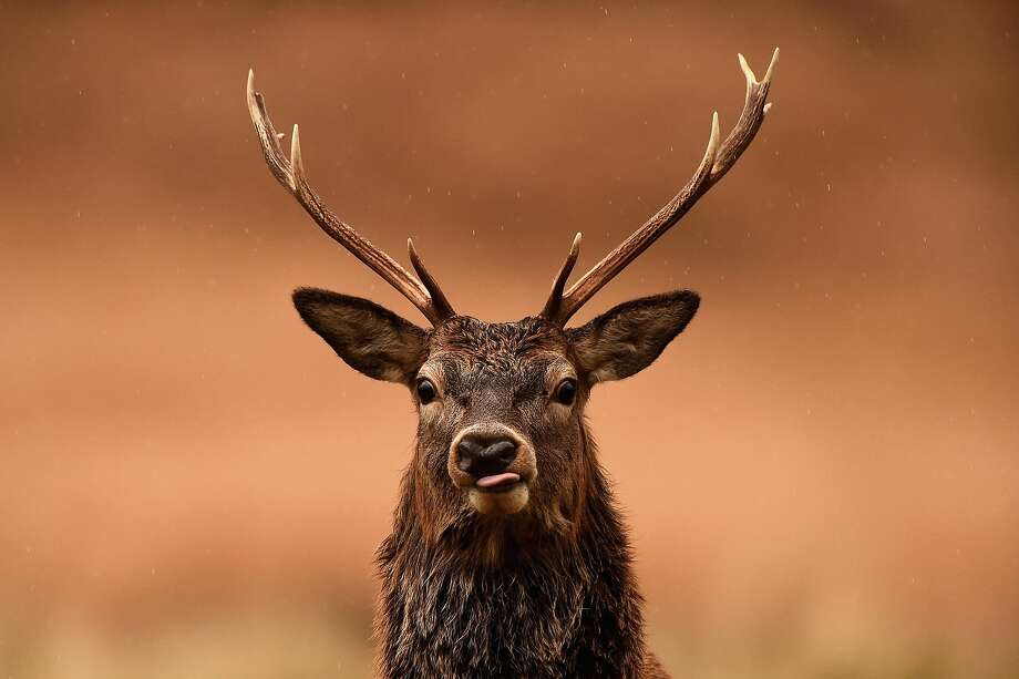File photo of a red deer stag. Photo: Jeff J Mitchell, Getty Images