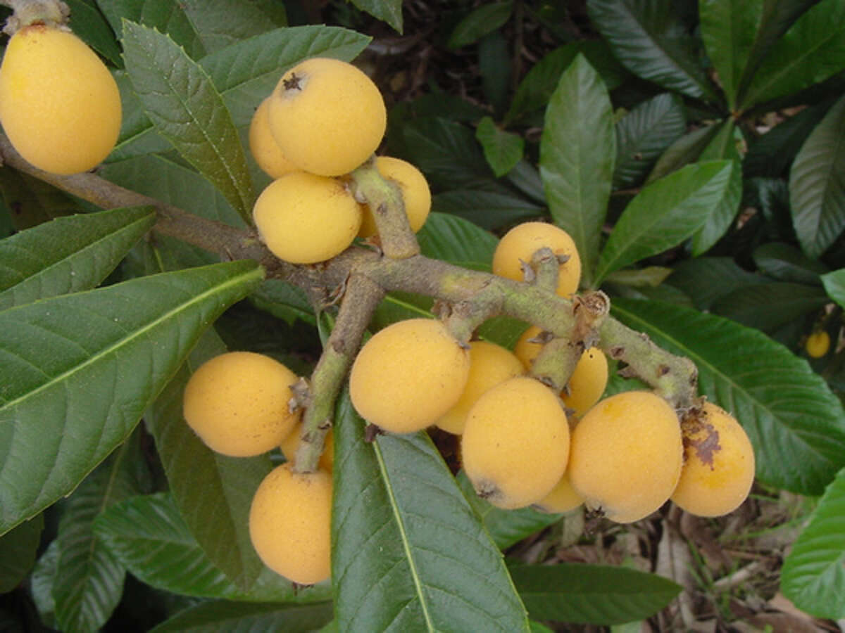 Dark green leaves on loquat trees are pretty year-round. The sweet fruit is tasty to wildlife and people.