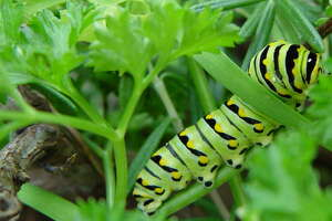 Sacrifice a parsley plant to the caterpillars that will become black swallowtail butterflies.