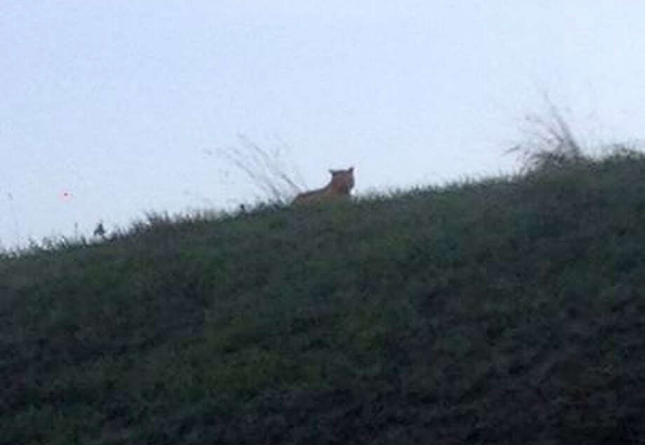 A small tiger was spotted Thursday in a small French town near Disneyland Paris. Photo: HONS / VILLE DE MONTEBRAIN