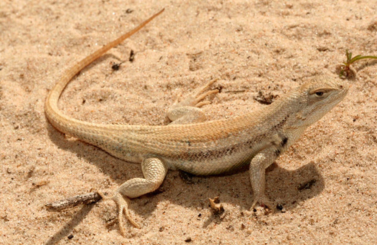 The Dunes sagebrush lizard lives in the heart of the Permian Basin where there has been intense drilling activity. The U.S. Fish and Wildlife Service partnered with Texas to help protect the lizard, but conservation groups sued after pointing out loopholes the oil and gas industry could take advantage of.