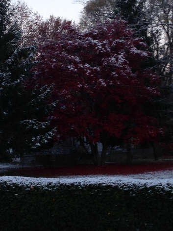 A dusting of snow collects on the leaves of tree on Lincoln Ave. in Colonie on November 14, 2014. Photo: Sarah Diodato