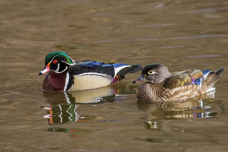 how to cook wood duck