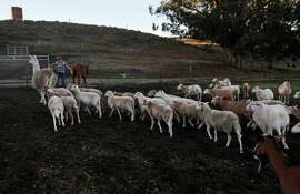 Left: Doniga Markegard, whose family raises cattle, moves a herd of sheep out to graze in the early morning hours on her leased land in Half Moon Bay.