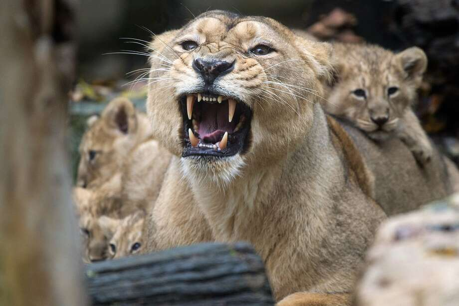Mom, will you be quiet?Asian lion cubs don't seem impressed by the vocal display of their mother Sita, on , at the zoo, in Mulhouse, eastern France. Four Asian lion cubs  were born a tthe zoo, on September 6. Photo: Sebastien Bozon, AFP/Getty Images