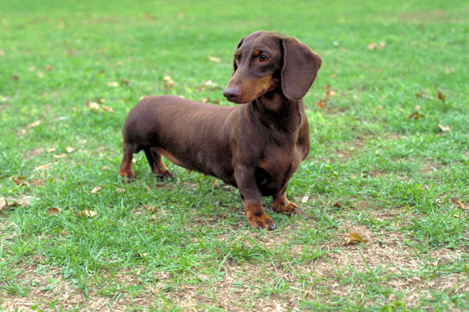 Our furry friends are like family, but that didn't stop one list from  ranking the top dogs in the country. See how the top 10 pooches in  America and more of the best dogs from around the nation ranked.DachshundNationwide: 10South: 8 (tied with Bulldog) Photo: Tilly Grassa, American Kennel Club