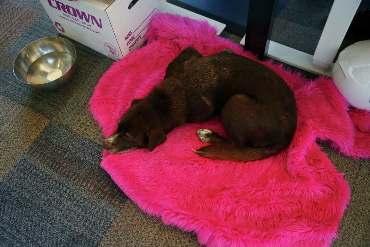 Mocha lies on a pink swatch of fabric used at Lyft events recycled into a dog bed at the Lyft offices on Thursday, November 6, 2014 in San Francisco, Calif.