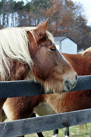 As winter approaches, a few of the rescued horses at the Chatham Equine Advocates Rescue and Sanctuary appear to be growing a little extra facial hair to stay warm, says photographer Barbara Roosevelt of Clifton Park. (Barbara Roosevelt)