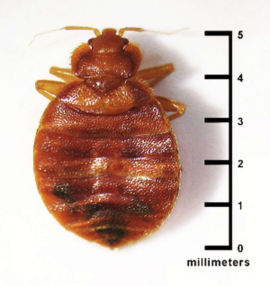A photo of a bedbug, from the federal Environmental Protection Agency website. Evidnce of bedbugs was found recently on a chair at the Fairfield Public Library, but officials stress there is no infestation of the facility. Photo: Contributed Photo /  Fairfield Citizen contributed