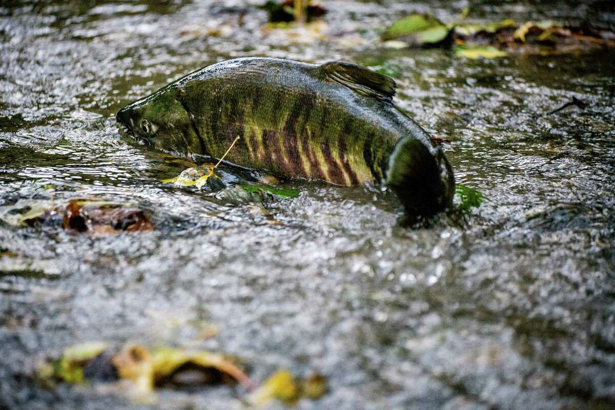 As fall sweeps on, a constant surge of chum salmon make their return to Pipers Creek to push upstream to spawn, photographed Monday, Nov. 17, 2014, in Carkeek Park in Seattle, Wash. Every 2-1/2 to 3-1/2 years at sea, the chum return. The mix of fish consist of releases of hatchery chum and from the natural spawning that now occurs in Pipers Creek. Historically, the best chum salmon viewing time is from the third week in November to the second week in December.