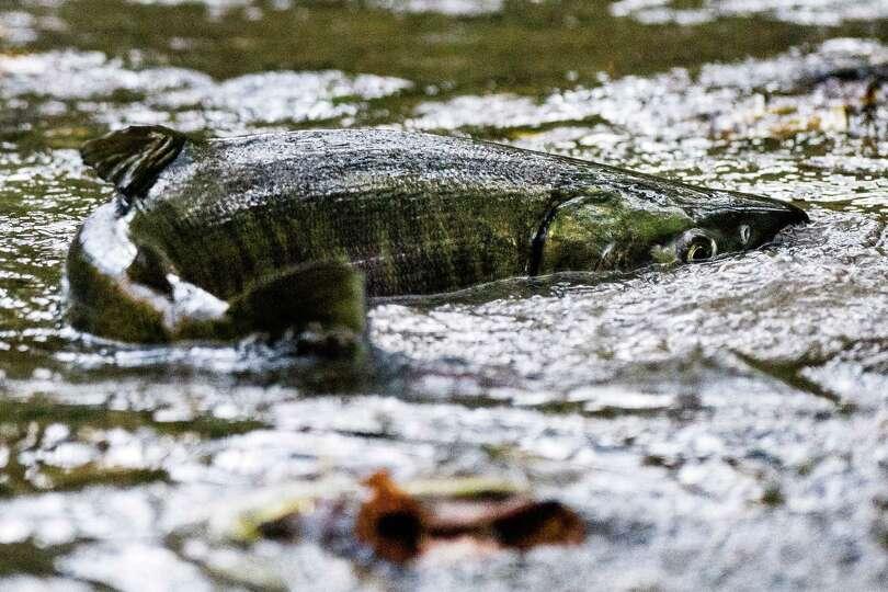 chum salmon pipers creek