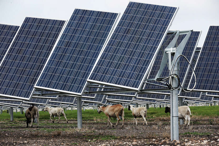 Sheep graze under solar panels at the Alamo 2 Solar Farm located at 8203 Binz Engleman Road. The 45-acre farm has 18,000 solar panels that provide 4.4 megawatts of energy at its peak for CPS Energy. Photo: Express-News File Photo / © 2014 San Antonio Express-News
