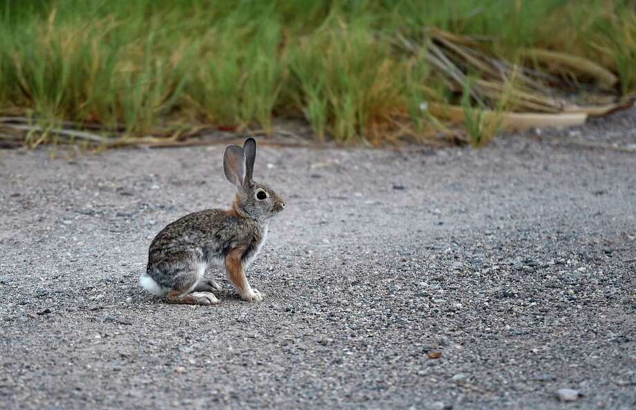 TECOPA, CALIFORNIA:  A rabbit is seen at the China Ranch date farm on September 3, 2014 in Tecopa, California. (Photo by Ethan Miller/Getty Images) Photo: Ethan Miller / Ethan Miller / Getty Images / ONLINE_YES