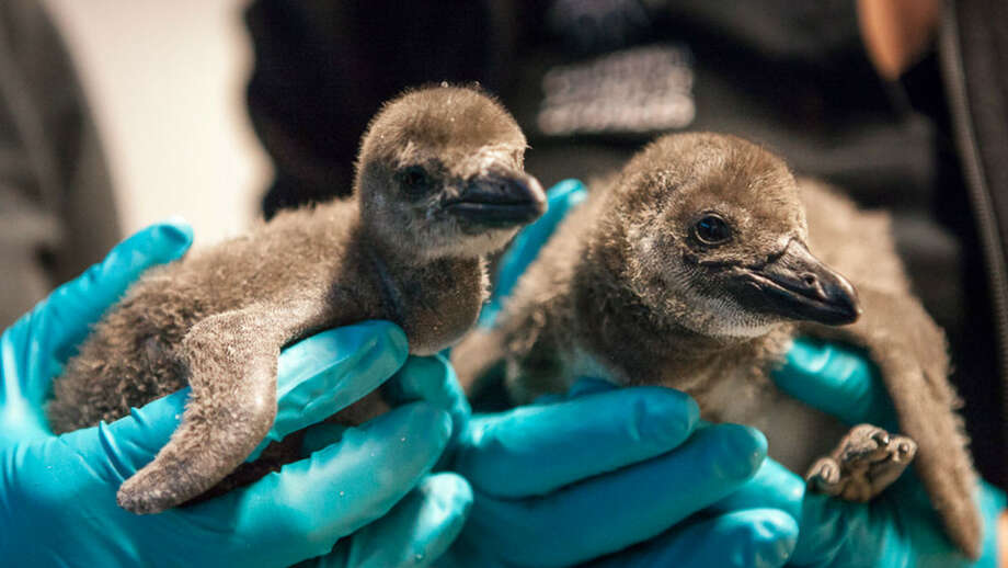 Two African penguin chicks, members of an endangered species, hatched at the California Academy of Sciences in Golden Gate Park Nov. 1 and 4, 2014. Photo: Courtesy / California Academy Of Sciences / ONLINE_YES