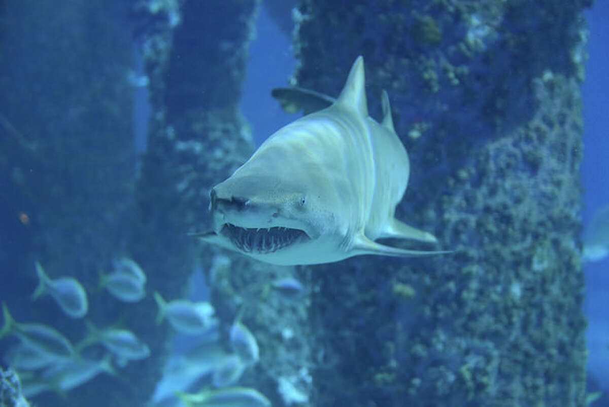 This five foot long sand tiger shark named Caroline is the latest addition to the Audubon Aquarium of the Americas in New Orleans.
