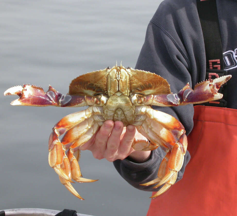Party boat patrons have been taking their limit of Dungeness crab since the season began on Nov. 1. Photo: Tom Stienstra / Tom Stienstra / ONLINE_YES