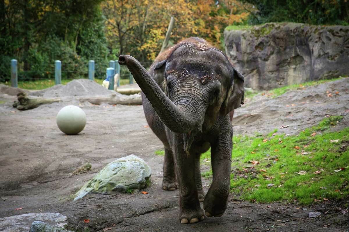 Asian elephant Bamboo walks in her enclosure after the Woodland Park Zoo announced that they will end their elephant program and plan to relocate elephants Bamboo and Chai. Photographed on Wednesday November 19, 2014.