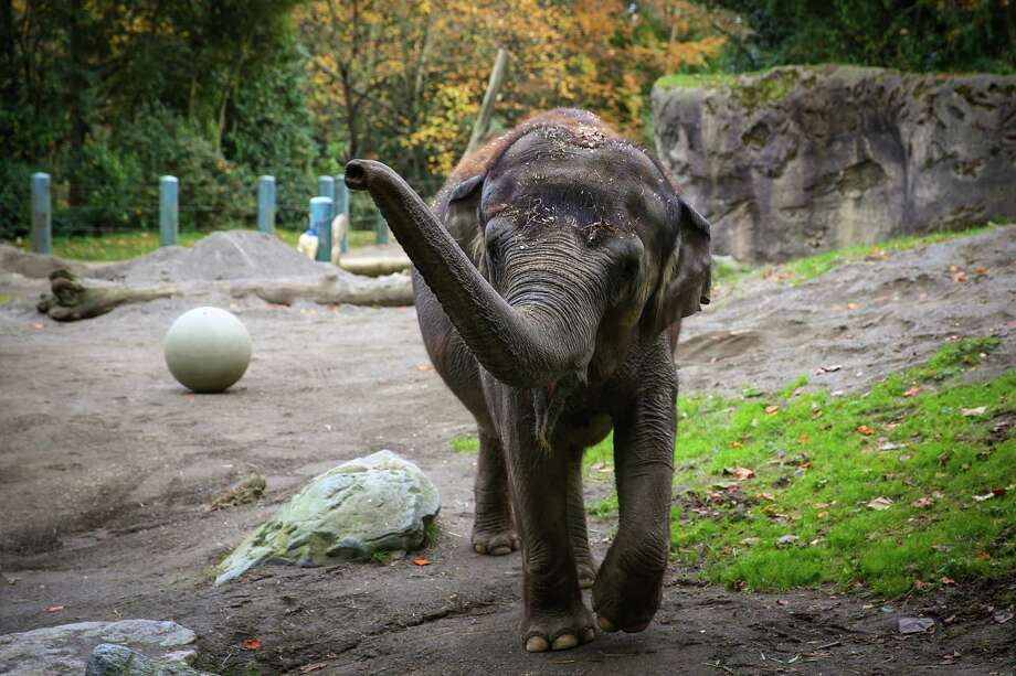 Asian elephant Bamboo walks in her enclosure after the Woodland Park Zoo announced that they will end their elephant program and plan to relocate elephants Bamboo and Chai. Photographed on Wednesday November 19, 2014. Photo: JOSHUA TRUJILLO, SEATTLEPI.COM / SEATTLEPI.COM