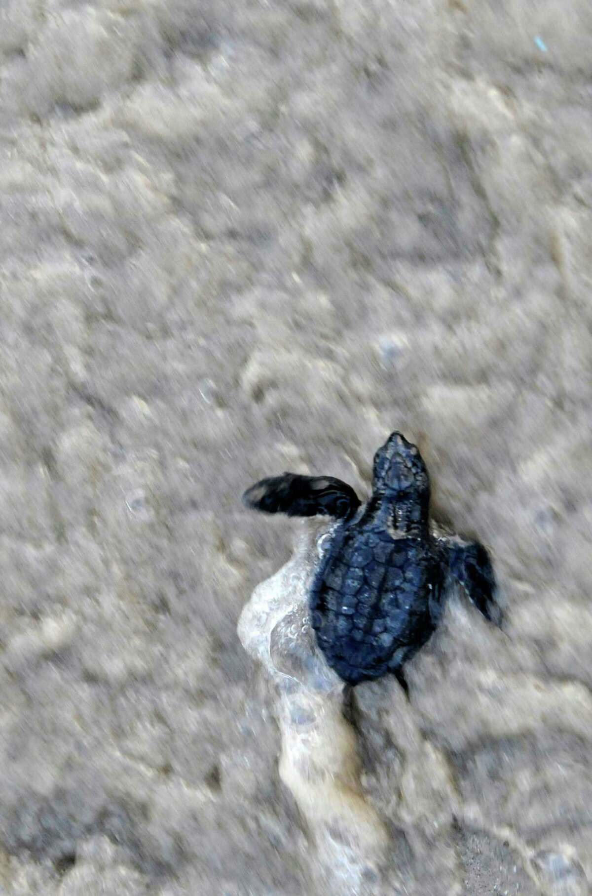 A Kemp's ridley hatchling makes its way through the surf after being released into the Gulf of Mexico in 2010 at Padre Island National Seashore.