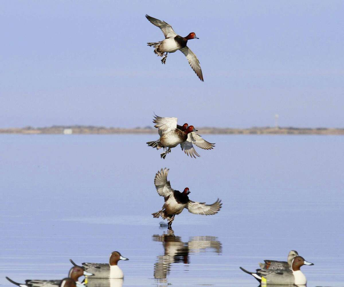 Strong winter storms in the Midwest this past week pushed large numbers of redhead ducks toward the shallow bays of Texas' mid and lower coast.