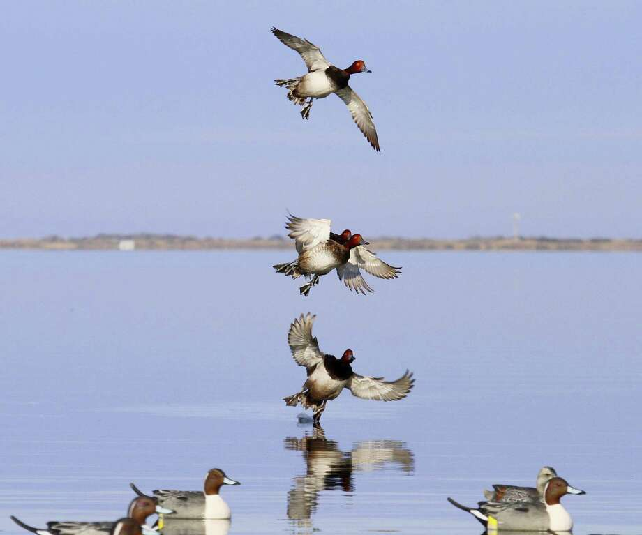 Strong winter storms in the Midwest this past week pushed large numbers of redhead ducks toward the shallow bays of Texas' mid and lower coast. Photo: Picasa